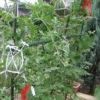 小玉スイカの空中栽培方法|庭でスイカを作ろう 熱中症対策にも