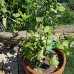 サイパンレモンの開花 ハダニの被害?で葉の色がおかしい