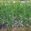 タマネギの生長の様子|2本植え栽培
