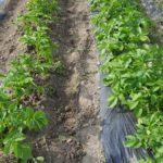 ジャガイモ とうやとノーザンルビーの収穫|マルチ栽培の成績は?