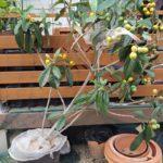 【鉢栽培】ビワの収穫|コガネムシの幼虫被害からの復活