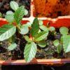 自家採種したモロヘイヤ やっと植え付けサイズに