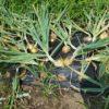 タマネギの収穫|2本植え栽培の収穫量比較