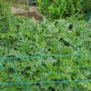 【家庭菜園】スイカとプリンスメロンの様子 人工授粉させる