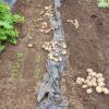 ジャガイモ「十勝こがね」の収穫