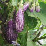 イタリアナスのフェアリーテイル収穫|ゼブラ模様が美しい