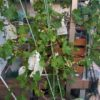 【鉢栽培】ブドウの巨峰に袋がけ 防虫、防鳥
