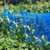 トウモロコシの収穫時期の見分け方|鳥対策とアワノメイガ対策