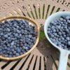【鉢栽培】自宅でブルーベリー狩り|ラビットアイ系ブルーベリーが収穫最盛期