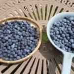 【鉢栽培】自宅でブルーベリー狩り ラビットアイ系ブルーベリーが収穫最盛期