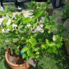 【サイパンレモンの鉢栽培】レモンが大きくなってきた