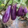 家庭菜園でおすすめのちょっと変わったナスの品種紹介|栽培方法