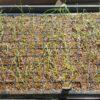 玉ねぎ セルトレイで苗作り
