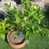 サイパンレモンの鉢栽培|黄色く色づいてきました