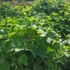 ハヤトウリの収穫と皇帝ダリア
