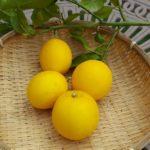 [鉢栽培]サイパンレモンの収穫
