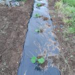 【市民農園】カボチャの生長の様子