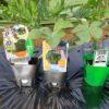 市民農園にスイカの植え付け|黒娘、タヒチ、サマーオレンジミドル