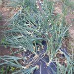 タマネギ 第一弾の収穫