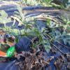 【家庭菜園】スイカの生長とわらイラズを敷く