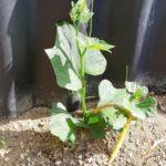 ハヤトウリ|捨てた種からいつの間にか葉が
