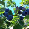 ハイブッシュ系のブルーベリーが色づいてきました|レカ