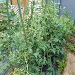 【家庭菜園】トマトを誘引|誘引に便利なグッズ