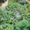 【キッチンガーデン】庭で栽培中のスイカがピンチ。炭そ病(炭疽病)?が蔓延