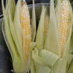 【家庭菜園】我が菜園の収穫記録 季節の野菜たち(7月)