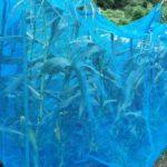 とうもろこしの収穫|鳥よけネットの効果