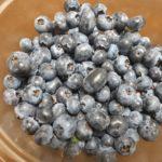 ハイブッシュ系ブルーベリーの収穫がピーク