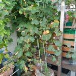【鉢栽培】巨峰の初収穫|防鳥対策に袋がけ