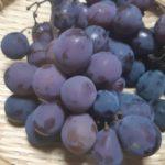 【鉢栽培】ブドウの巨峰が今年は大成功