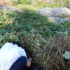 さつまいも(安納芋)の試し掘り|サツマイモの収穫時期