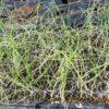 種から育てたたまねぎの苗の植え付け|セルトレイ苗