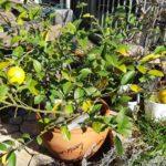 【鉢栽培】サイパンレモン収穫
