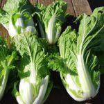 食べきりサイズのミニ白菜収穫 家庭菜園におすすめタイニーシュシュ