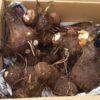サトイモの収穫|どだれの親芋食べる?
