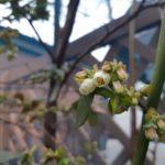 ハイブッシュ系のブルーベリーが早くも開花!