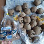 今年植えつけるジャガイモの品種と芽出し