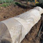 穴あきマルチ混植栽培の様子
