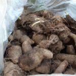 サトイモの最後の収穫と芽出し 今年は親芋も種芋に!