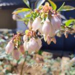 ラビットアイ ブルーベリーの開花と追肥