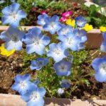 庭のネモフィラとモモイロタンポポが開花中