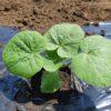 ミニカボチャ「栗坊」植え付け 小玉スイカ苗の購入