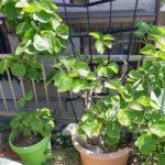 鉢栽培のキウイフルーツが開花 紅妃(コウヒ)