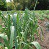 にんにくの芽の収穫