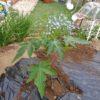 パパイヤの植え付け ハワイオウロ