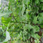 【家庭菜園】パパイヤの様子 地植えと鉢栽培
