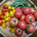 【トマト】ホーム桃太郎とアイコの収穫 割れに強いアイコ